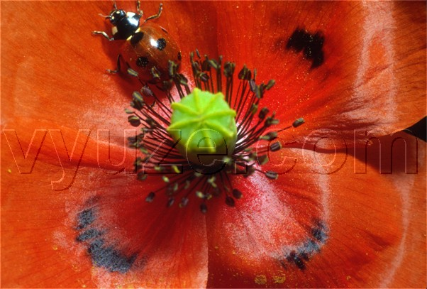Poppy and ladybird / Location: Lia, Epirus, Greece